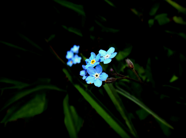 cordell-forget-me-not